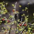 Photos: コゲラとボケの花