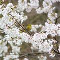 メジロと四季桜