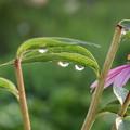Photos: 花としずく
