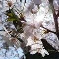 写真: 桜 2