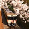 写真: 桜トンネル