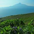 Photos: 花の島からの利尻富士