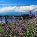 Photos: 河口湖ラベンダー