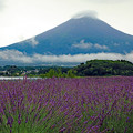 Photos: 梅雨富士とラベンダー