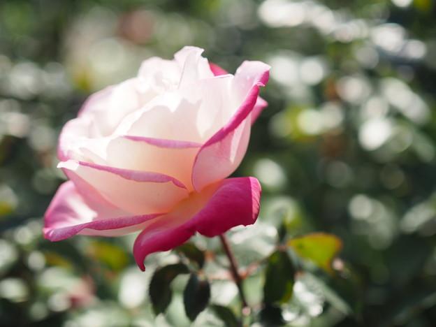 薔薇 マキシム