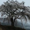 写真: 上発知の桜