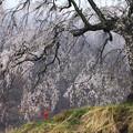 写真: 里山の桜