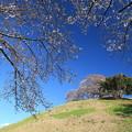 Photos: 山頂に咲く桜