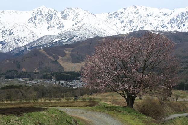 Photos: 野平の桜