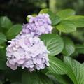 紫陽花の試し撮り