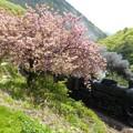 写真: 八重桜 5カット