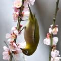 写真: 梅も終わりにメジロさん-1