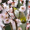 写真: 梅も終わりにメジロさん-3