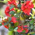 赤い木瓜にメジロ-1