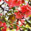写真: 赤い木瓜にメジロ-2