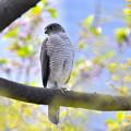 写真: ツミ嬢-桜の散った林で-3