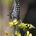 アゲハ-黄色の花に-2