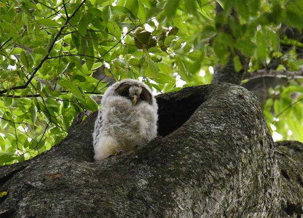フクロウ(N)-巣穴のヒナ
