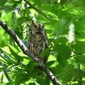 写真: オオコノハズク-母鳥-1