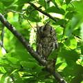 オオコノハズク-母鳥-2