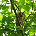 オオコノハズク-母鳥-3