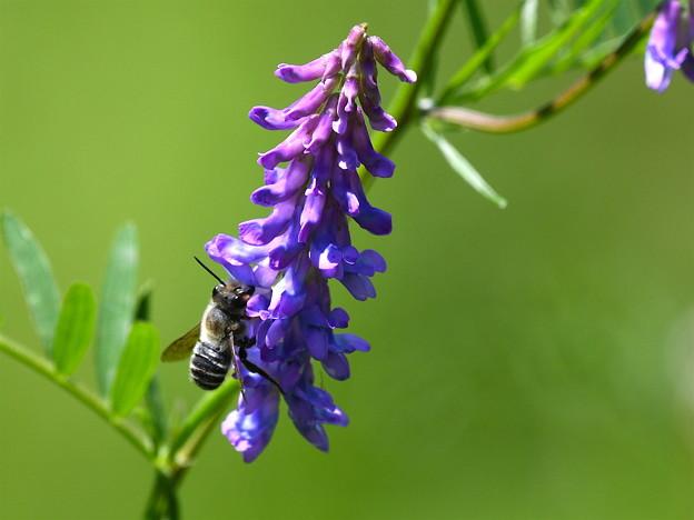 クサフジに蜂