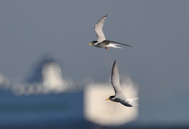 コアジサシ-飛翔