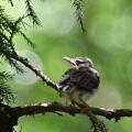 写真: ヒヨの巣立ちヒナ-1
