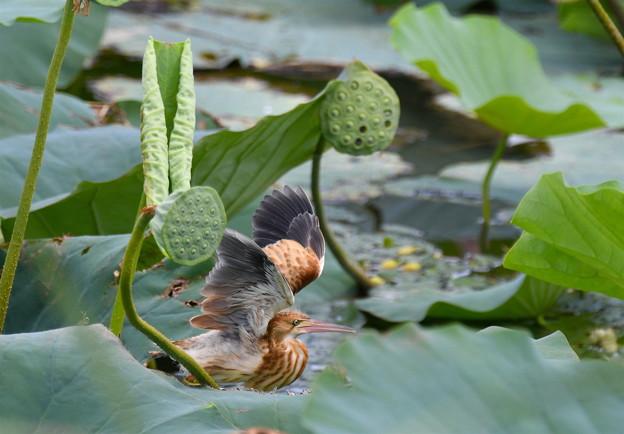 幼鳥の羽ばたき-2