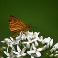 写真: 白とスジグロチャバネセセリ