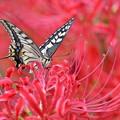 写真: 曼珠沙華にアゲハチョウ-3