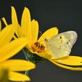 写真: 黄色の世界にモンキチョウ