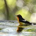 写真: キビタキ君の水浴び-1