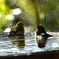 写真: キビタキ君の水浴び-6