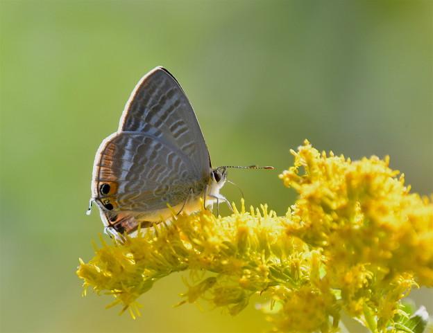 セイタカアワダチソウに蝶-1