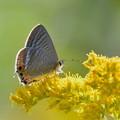 写真: セイタカアワダチソウに蝶-1