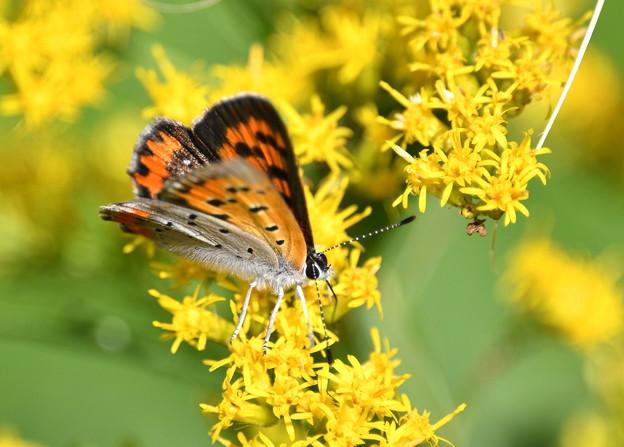 セイタカアワダチソウに蝶-2