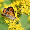 写真: セイタカアワダチソウに蝶-2