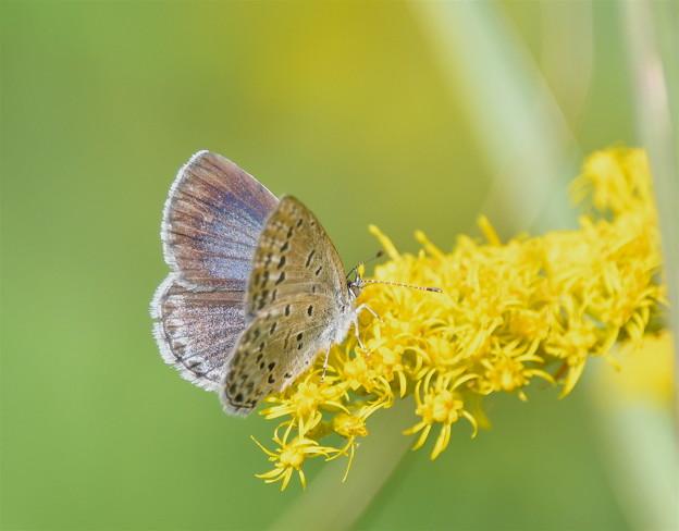 セイタカアワダチソウに蝶-3