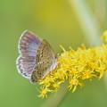 写真: セイタカアワダチソウに蝶-3