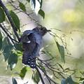 カッコウ幼鳥2-枝留まり-1
