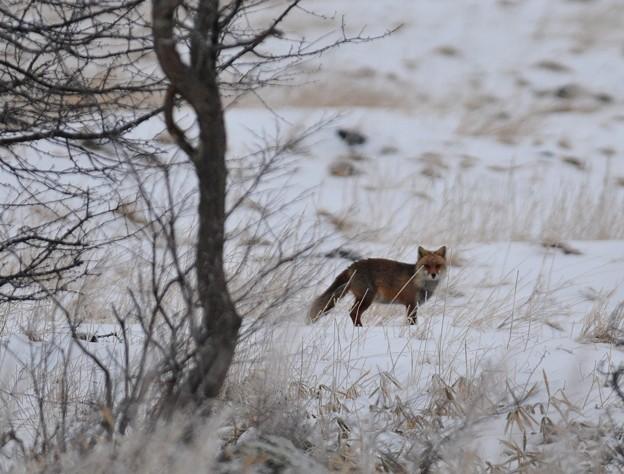雪景色の狐