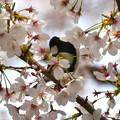 桜にシジュウカラ-1