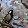 桜にシジュウカラ-2