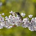 スズメ-桜に-1