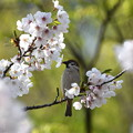 スズメ-桜に-2