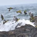 Photos: アオバト-夏恒例の海で-2