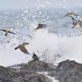 Photos: アオバト-夏恒例の海で-3