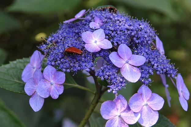 レンゲショウマの林で-紫陽花2