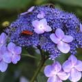 Photos: レンゲショウマの林で-紫陽花2